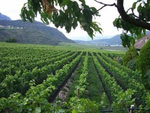 Südtiroler Weinen auf der Spur